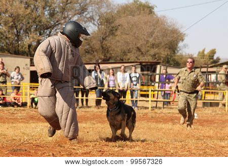 Police Trained Alsatian Dog, Take Padded Running Man Down In Show Simulation. Sequence 3 Of 10.