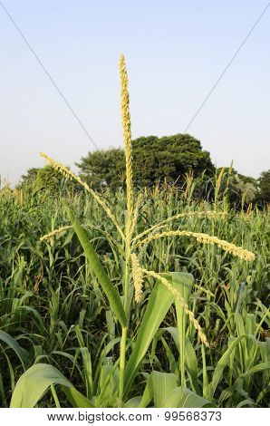 Corn tassel in corn field
