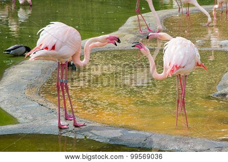 Four Pink Flamingos Quarreling