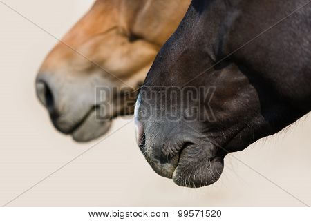 Two Head Of Horses Close Up