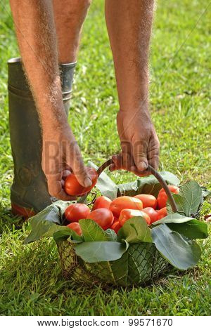 Farmer hands collecting tomato crop. Harvesting tomato crop.