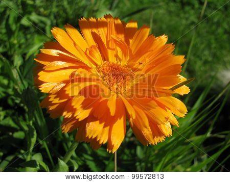 Beautiful calendula flower