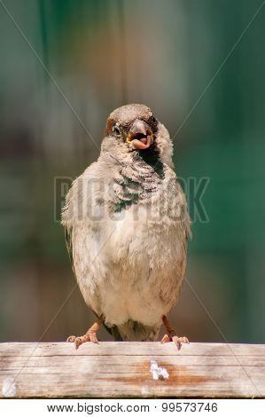 Curious sparrow on the backyard fence