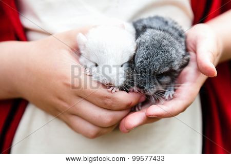 Two Baby Chinchillas In The Hands Of A Child