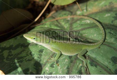Anole (Chameleon)