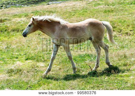 Pretty Wild Foal Walking Across A Field