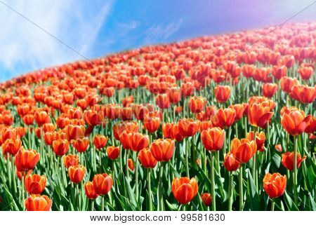 colorful field of tulips and blue sky