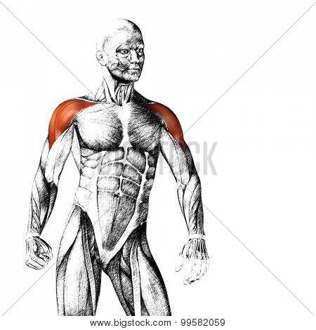 Concept or conceptual 3D chest human anatomy or anatomical and muscle sketch isolated on white background