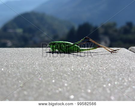 Grasshopper Against The Sun