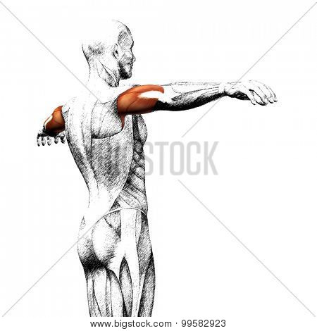 Concept or conceptual 3D triceps human anatomy or anatomical and muscle sketch isolated on white background