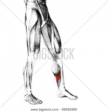 Concept or conceptual 3D adductor longus human lower leg anatomy or anatomical and muscle sketch isolated on white background