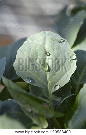 Broccoli Seedlings.