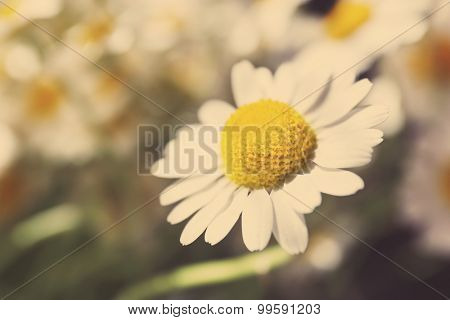 Beautiful  daisies with sunlight