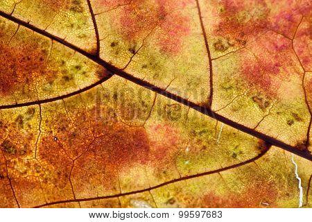 Fallen Yellow Maple Leaf. Texture, Pattern,