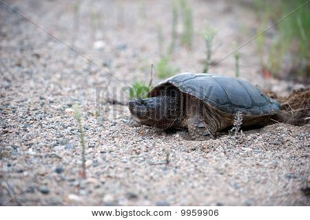 Snapping Turtle Laying Eggs