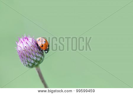 Red Ladybug. Lady Bird On A Top Blue, Violet Flower