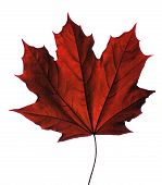 picture of canada maple leaf  - Red maple leaf - JPG