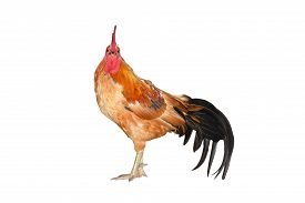 pic of bantams  - chicken bantam  - JPG