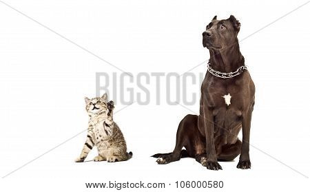 Kitten Scottish Straight and Staffordshire Terrier