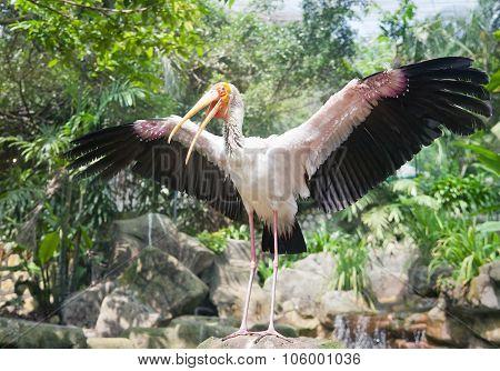 Yellow Billed Stork In Kuala Lumpur Zoo