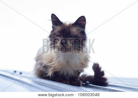 Sleepy Blue Eyed Cat On Roof