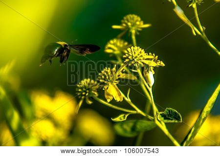 Bumble Bee Flying Near Flower On Sunny Day