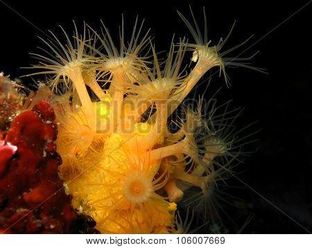 Yellow Encrusting Anemone, Gelbe Krustenanemone, Parazoanthus Axinellae