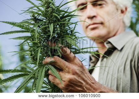 Smiling Farmer Checking Hemp Plants