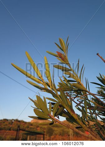 Oleander Seed Pods