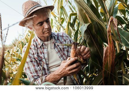 Farmer Checking Corn Plants In The Field