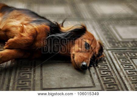 Longhair dachshund puppy lying down