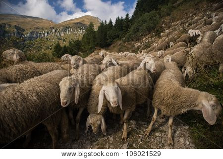 Flock of sheeps grazing in nature