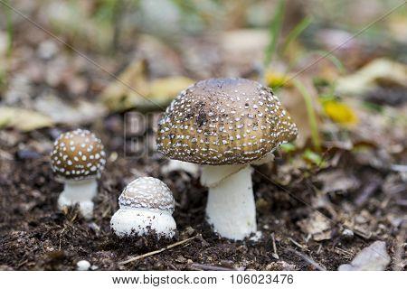 Amanita Pantherina Mushroom