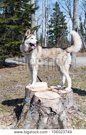 Husky Dog Standing