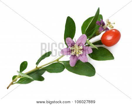 Goji Branch