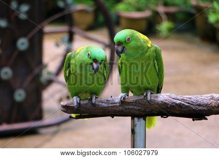 Yellow Naped Amazon Parrot Sitting On Wood