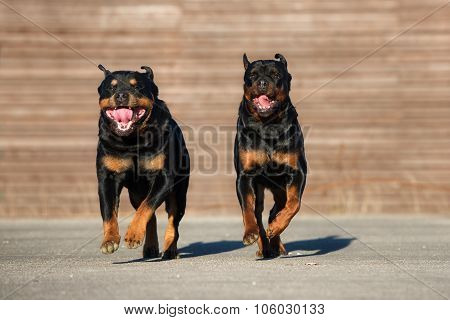 two rottweiler dogs running together