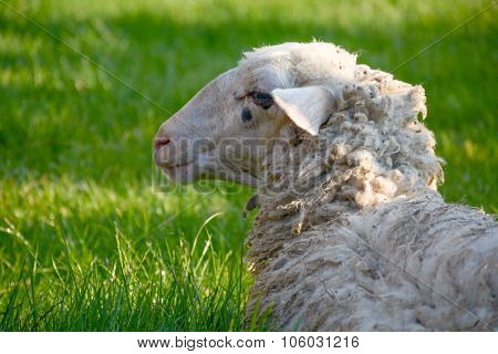 Head of sheep lying on the green lawn