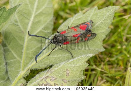 Narrow-bordered Five-spot Burnet moth on a leaf