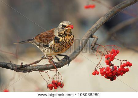 Bird thrush and berries