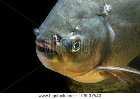 Detail Of Head Piranha Fish