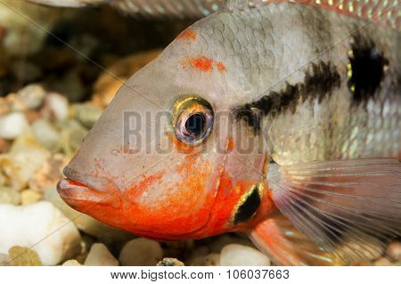 Detail Of Head Of Cichlid Fish