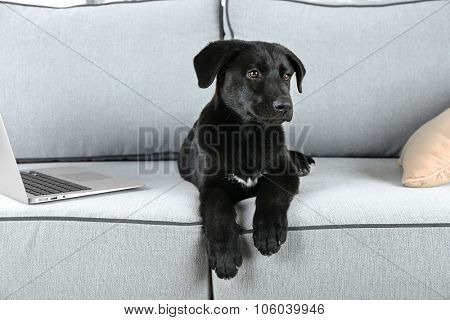Cute clever black retriever on comfortable sofa in white room