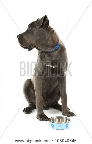 Cane corso italiano dog and empty bowl, isolated on white