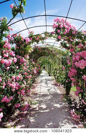 Romantic Walk With Flowering Rosebush
