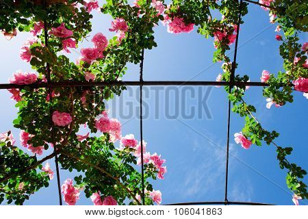 Creeping Rosebed Under Blue Sky
