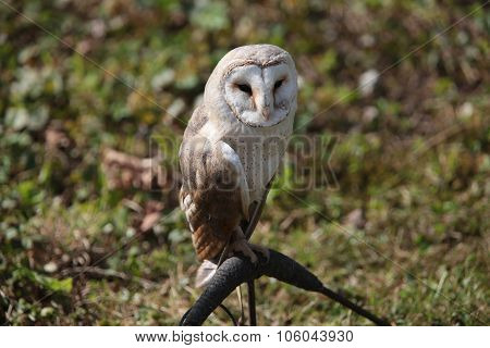 Boreal owl (Aegolius funereus) sitting on a branch. Czech Rep