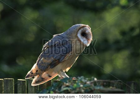 Closeup of Barn Owl Raptor with Back Lighting Czech Rep
