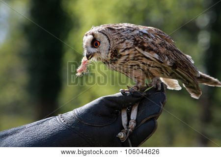 Kestrel Sitting On Falconers Hand
