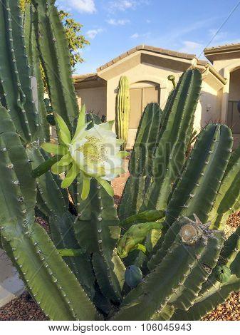 Arizona Frontyard Cactus